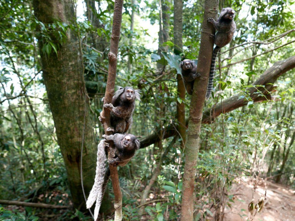Мармосеты (игрунки) хотят банан, Корковадо, Бразилия